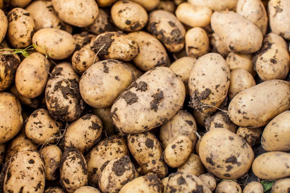 Harvested Young Fresh Potato In Wheelbarrow